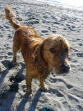 Guilty wet and dirty dog. Dirty and wet golden retriever dog at the beach waiting for the ball to be thrown to play fetch Stock Image