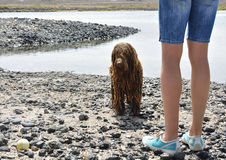Guilty wet spanish water dog and women legs. Guilty wet spanish water dog and angry owner Royalty Free Stock Images