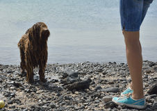 Guilty wet spanish water dog and womans legs. Guilty wet spanish water dog and angry owner Royalty Free Stock Images