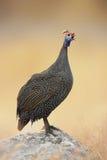 a Guiné-galinha empoleirou-se em uma rocha Fotografia de Stock Royalty Free