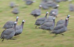 Guinée-volailles dans Gourdon images stock