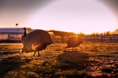 Guina hen sunset on the farm. royalty free stock photography