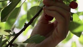 Guindas de la cosecha almacen de metraje de vídeo