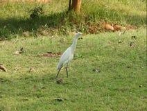 Guindaste branco do bico do amarelo do pássaro do guindaste Imagens de Stock