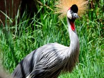 Guindaste coroado para o leste africano Foto de Stock Royalty Free