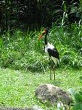 Guindaste no pássaro bonito do jardim zoológico de Singapura Foto de Stock Royalty Free