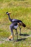 Guindaste rowned ¡ de Ð Dois pássaros bonitos Fotos de Stock Royalty Free