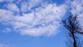 Guindastes comuns que voam na v-formação sobre pantanais do rio de Biebrza no Polônia do nordeste video estoque