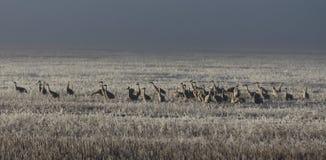 Guindastes de Sandhill e campo nevoento Fotografia de Stock Royalty Free