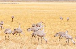 Guindastes de Sandhill que alimentam em um campo gramíneo Fotografia de Stock