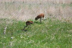 Guindastes de Sandhill - reserva natural em Montana Fotografia de Stock