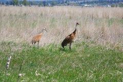 Guindastes de Sandhill - reserva natural em Montana Fotografia de Stock Royalty Free