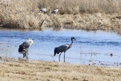 Guindastes e cisnes Imagem de Stock
