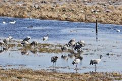 Guindastes e cisnes Fotos de Stock