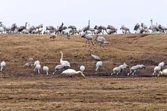 Guindastes e cisnes de whooper Fotografia de Stock Royalty Free