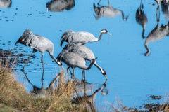 Guindastes no lago Hornborga na Suécia Fotografia de Stock