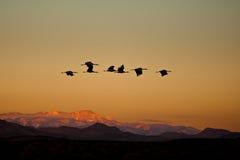 Guindastes no vôo Fotografia de Stock Royalty Free