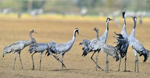 Guindastes que dançam no campo O grus comum do Grus do guindaste, guindaste euro-asiático Imagens de Stock Royalty Free