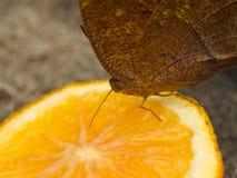 Guindineau alimentant sur le fruit Photos stock
