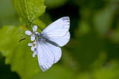Guindineau blanc photographie stock