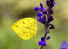 Guindineau blanc jaune Photos libres de droits