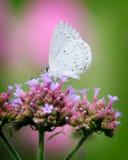Guindineau blanc sur la fleur rose Photographie stock libre de droits