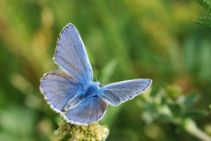 Guindineau bleu Images stock