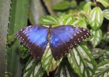 Guindineau bleu Photographie stock libre de droits