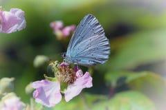 Guindineau bleu Image libre de droits