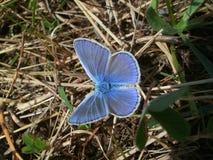 Guindineau bleu Photo stock