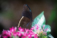 Guindineau bleu de Morpho Photo stock