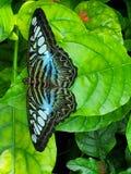 Guindineau bleu et noir photo libre de droits