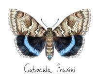 Guindineau Catocala Fraxini. Images stock