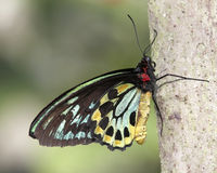 Guindineau commun de Birdwing (Troides helena) Images stock