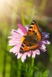 Guindineau d'écaille sur la fleur de souci Photographie stock libre de droits