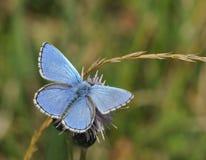 Guindineau de bleu d'Adonis images stock