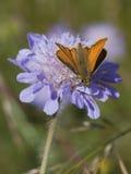 Guindineau de capitaine sur la fleur scabious Image stock