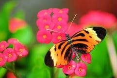 Guindineau de Heliconian de tigre Images libres de droits