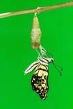 Guindineau de limette (malayanus de demoleus de Papilio) Images stock