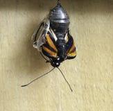 Guindineau de monarque apparaissant de la chrysalide Photographie stock libre de droits