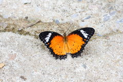 Guindineau de monarque avec les ailes ouvertes photos libres de droits