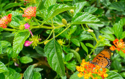 Guindineau de monarque dans le jardin Image libre de droits