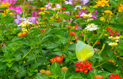 Guindineau de monarque dans le jardin Image stock