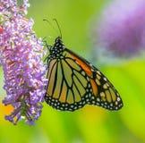 Guindineau de monarque sur la fleur image stock