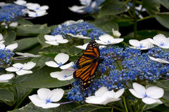 Guindineau de monarque sur la fleur Photos libres de droits