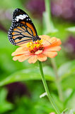 Guindineau de monarque sur la fleur de Zinnia Photo libre de droits