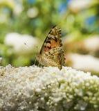 Guindineau de monarque sur le buisson de guindineau Photos libres de droits