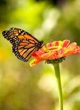Guindineau de monarque sur le zinnia Photographie stock