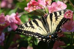 Guindineau de monarque sur les fleurs roses Image libre de droits