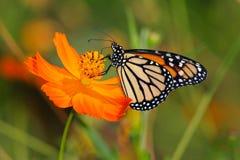 Guindineau de monarque sur une fleur orange Image libre de droits